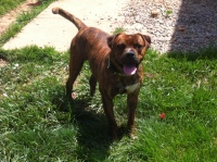 american staffordshire terrier,pit bull terrier,brindle pit bull